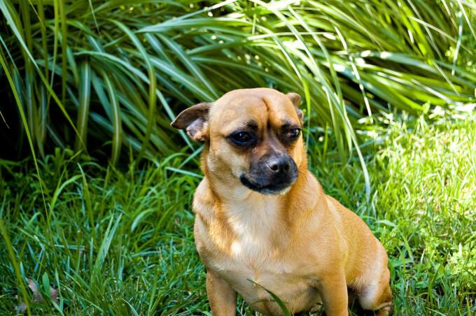 Low Maintenance Large Dog Breeds