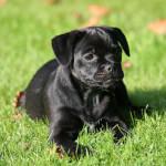 Black Jug Dog