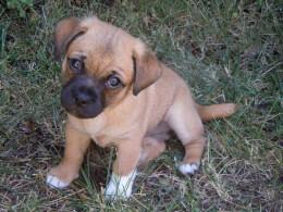 Tan Jug Puppy
