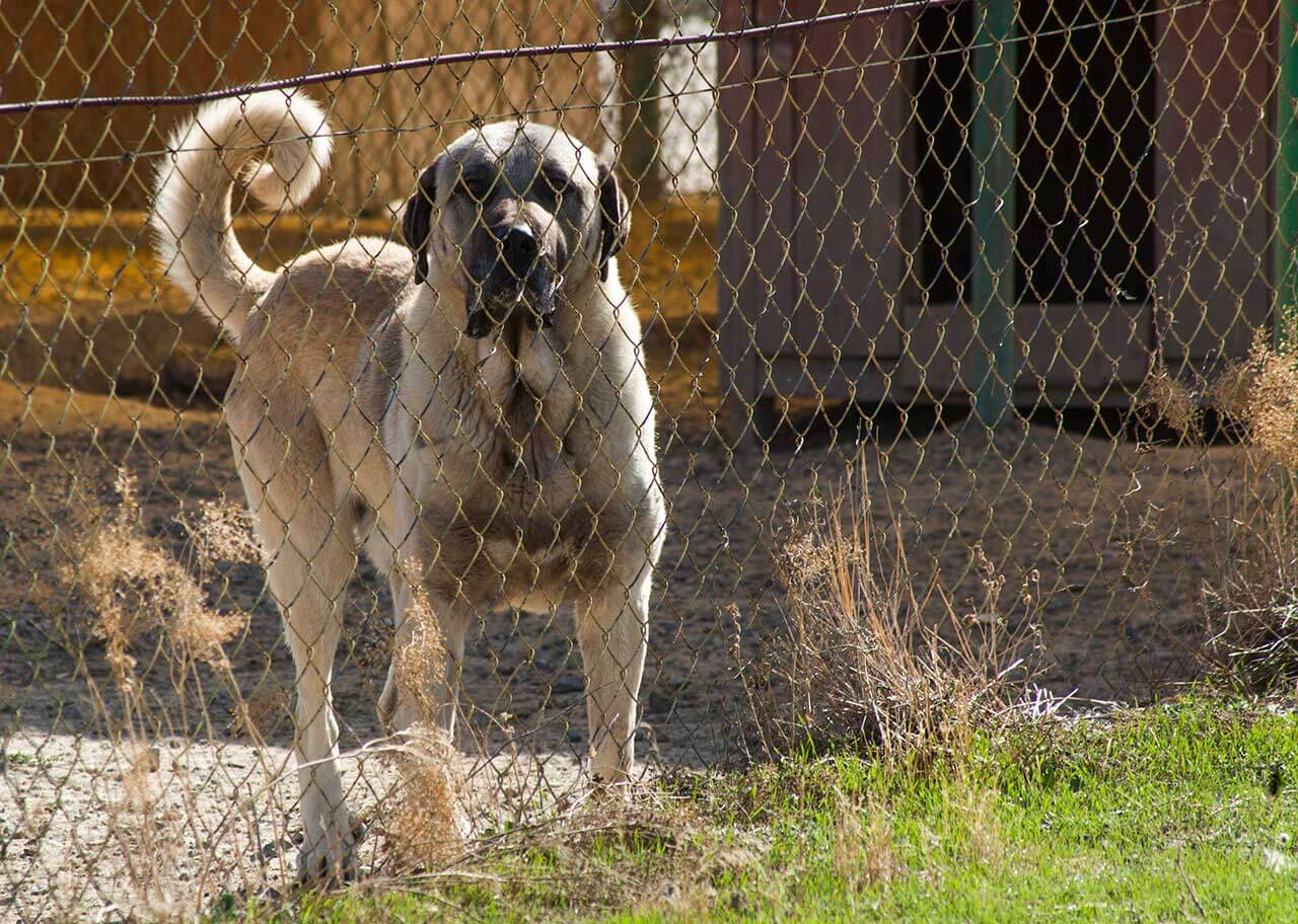 Kangal Dog Breed 187 Everything About Kangal Dogs