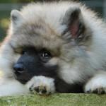 Tawny Keeshond Puppy