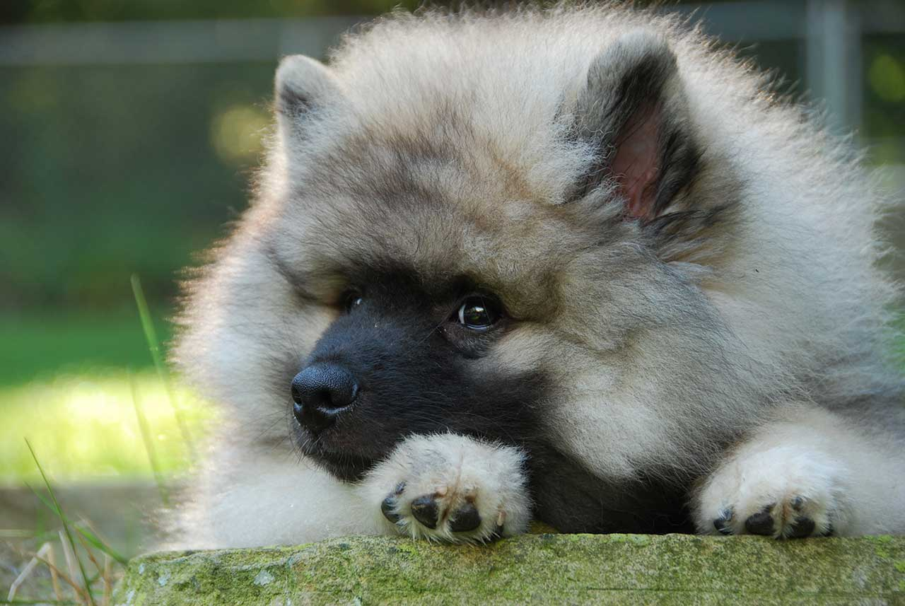 Keeshond Rescue Keeshond Dog Br...