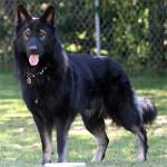 Black King Shepherd