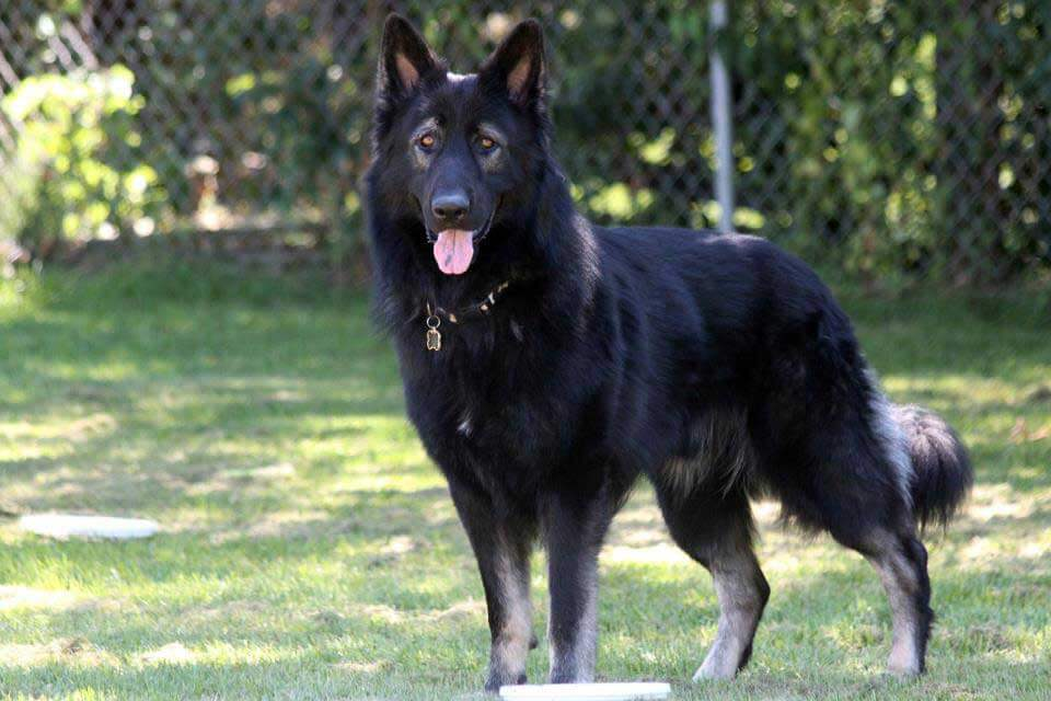 Dog Black Pure Breed Short Hair