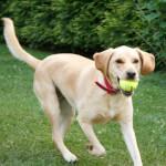 Yellow Labbe Dog