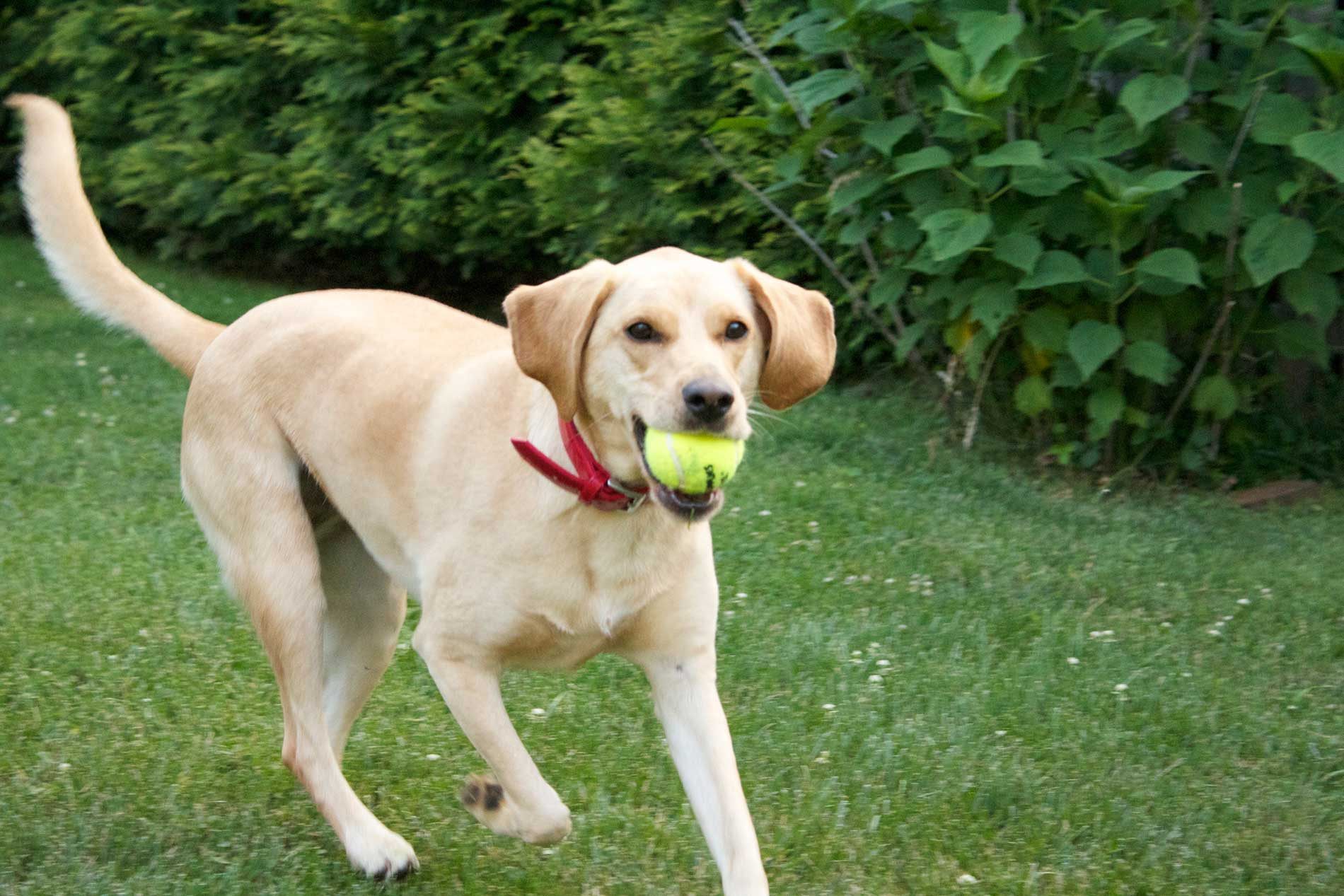 Labbe Dog Breed 187 Everything About Beagle Labrador Mixes