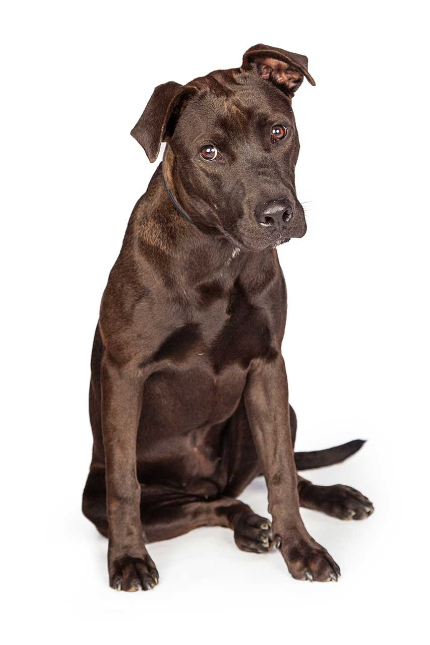 Labrabull / Pitador Dog Breed » Everything About the Pit ...