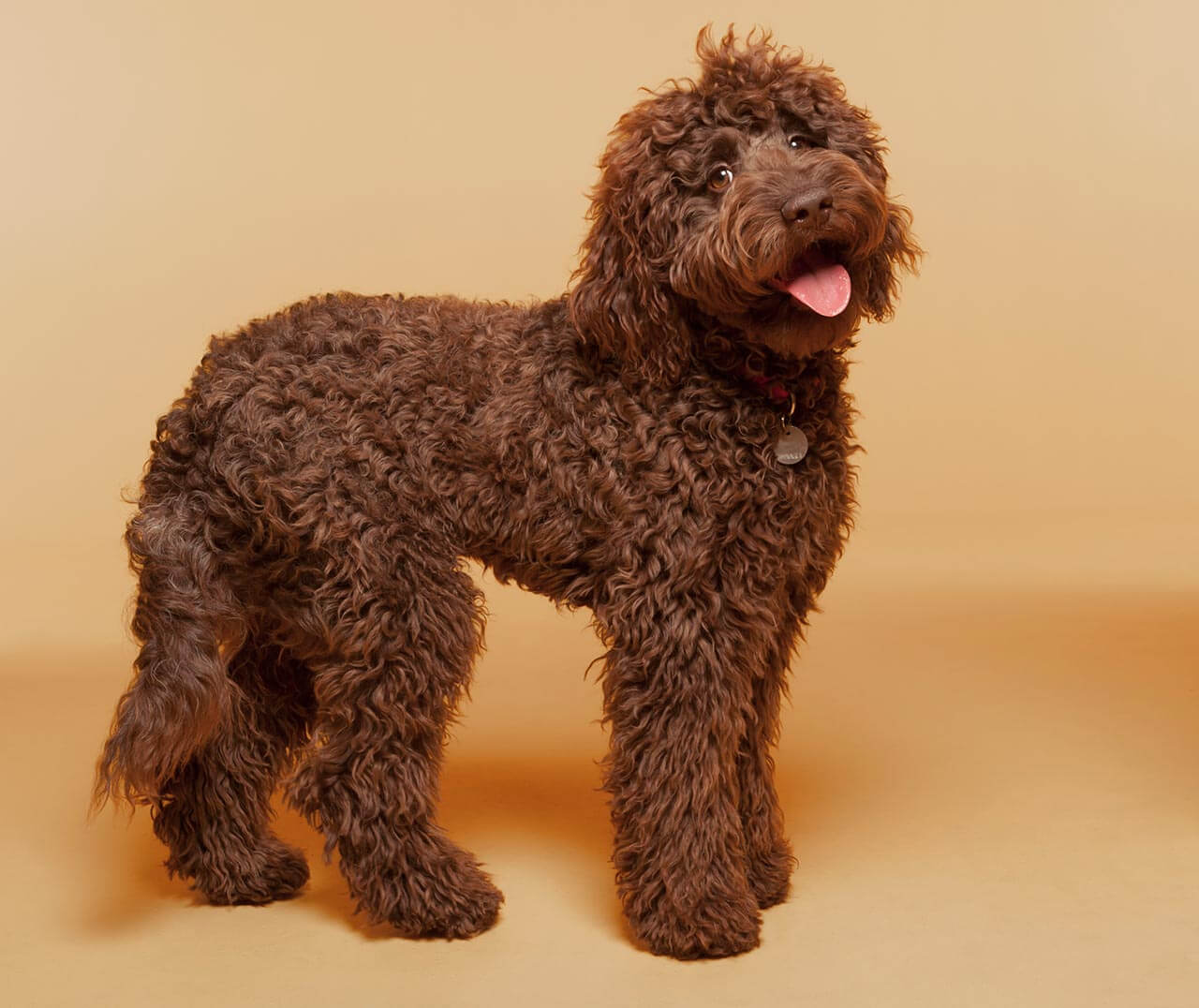 Hypoallergenic Dogs That Are Family Friendly