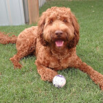 Red Labradoodle