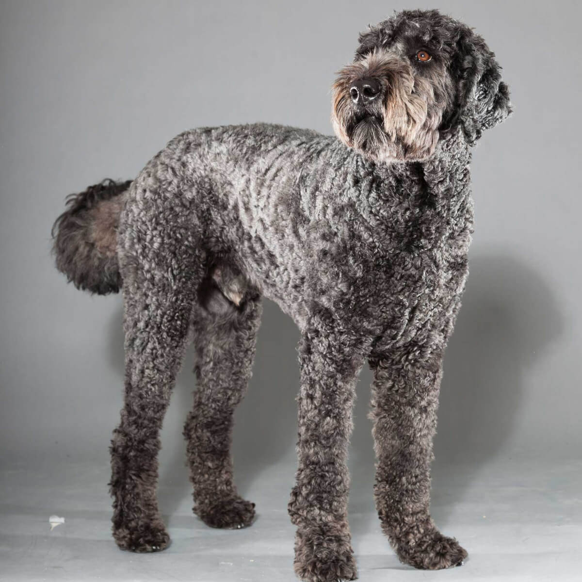 Labradoodle Dog Breed Everything About Labradoodles