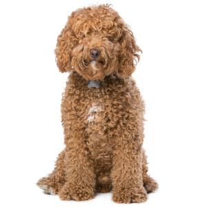 Labradoodle Good Guard Dog