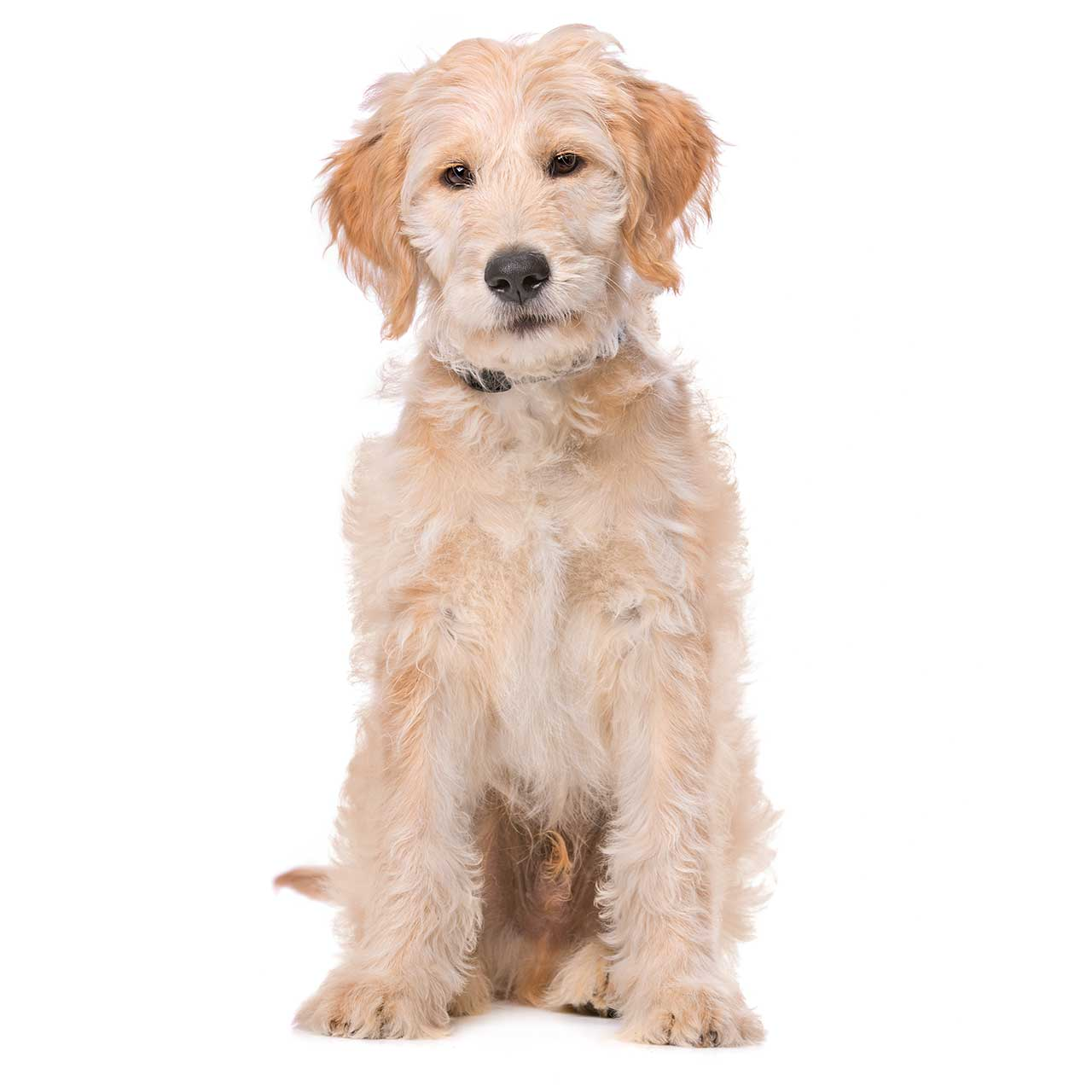 Labradoodle Dog Breed 187 Everything About Labradoodles