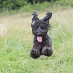 Running Black Labradoodle Puppy