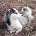 Silver & White Labrador Husky