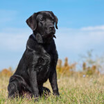 Black Lab in the Grass