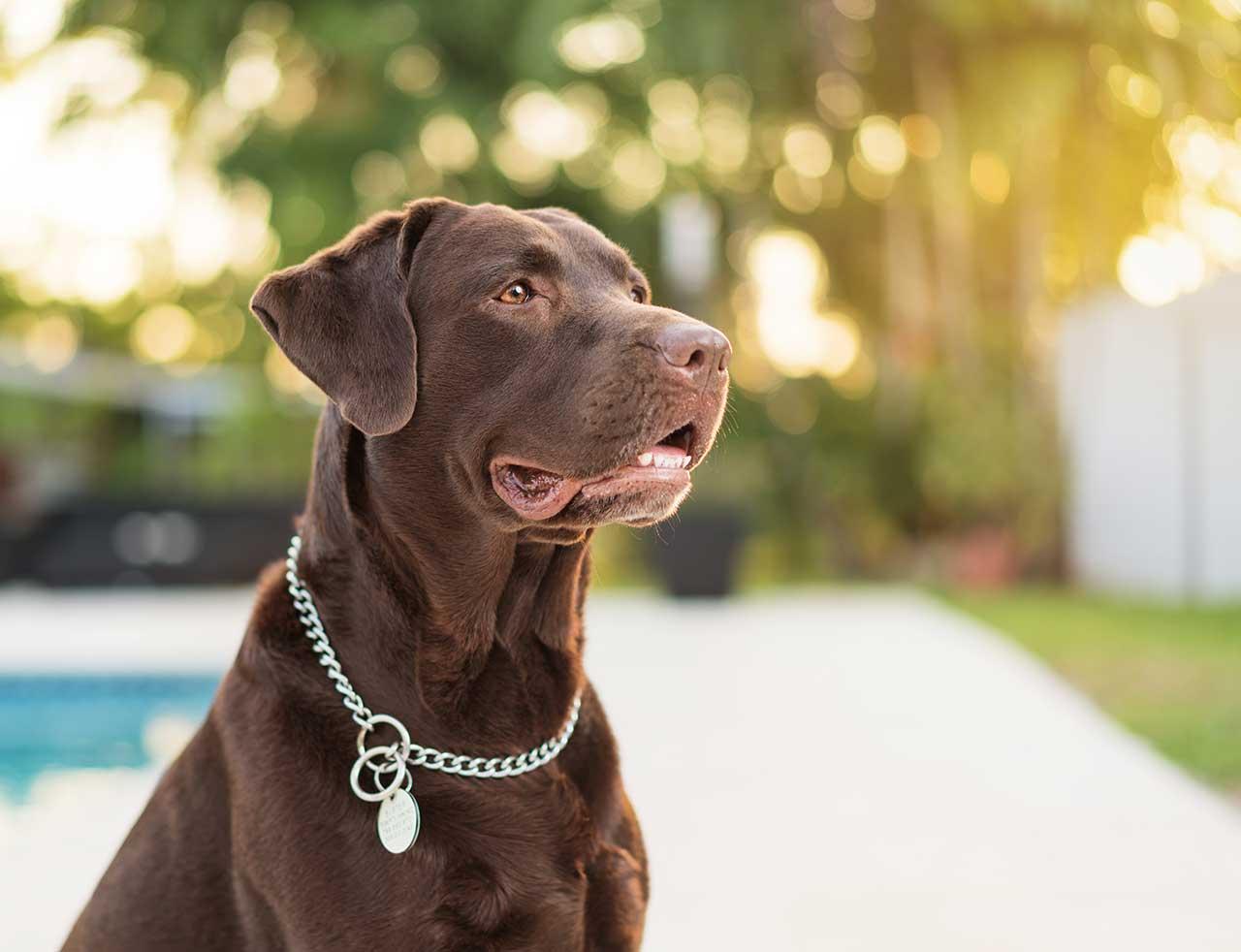 Labrador Retriever Dog Breed » Information, Pictures, & More