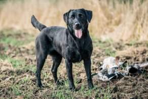 Labrador Retriever Hunting