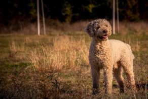 Off-white Lagotto Romagnolo