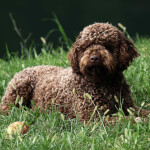Brown Lagotto Romagnolo