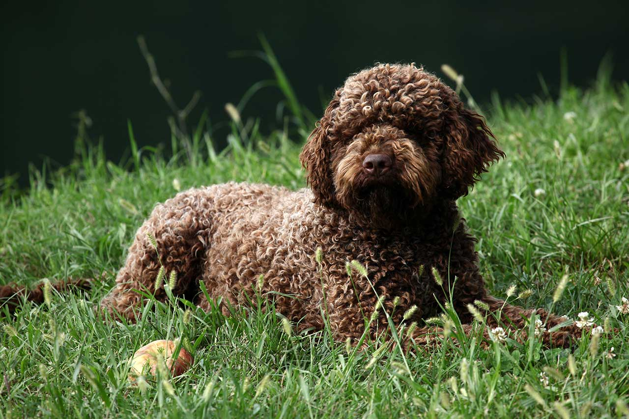 Lagotto Romagnolo Dog Breed 187 Everything About Lagotto