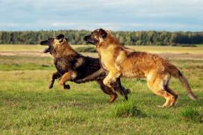 Two Leonberger Dogs Playing