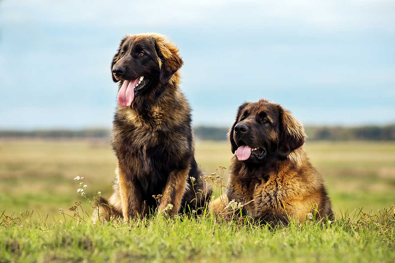 Leonberger Dog Breed » Everything About Leonbergers