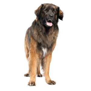 Reddish Brown Leonberger