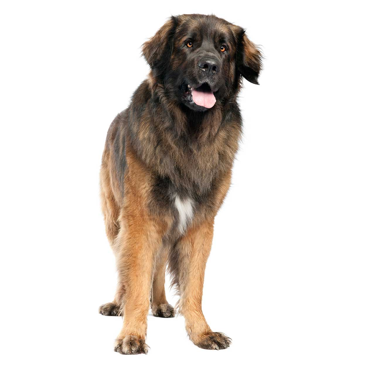Leonberger Dog Breed 187 Everything About Leonbergers