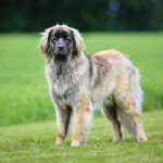 Yellow Leonberger