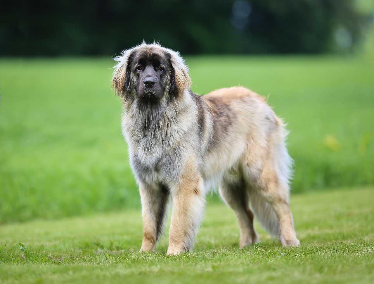 Leonberger Puppies For Sale In Missouri | Top Dog Information |Leonberger Dogs And Puppies