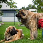 Red Leonberger with Little Girl