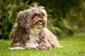 Lhasa Apso Resting in the Grass