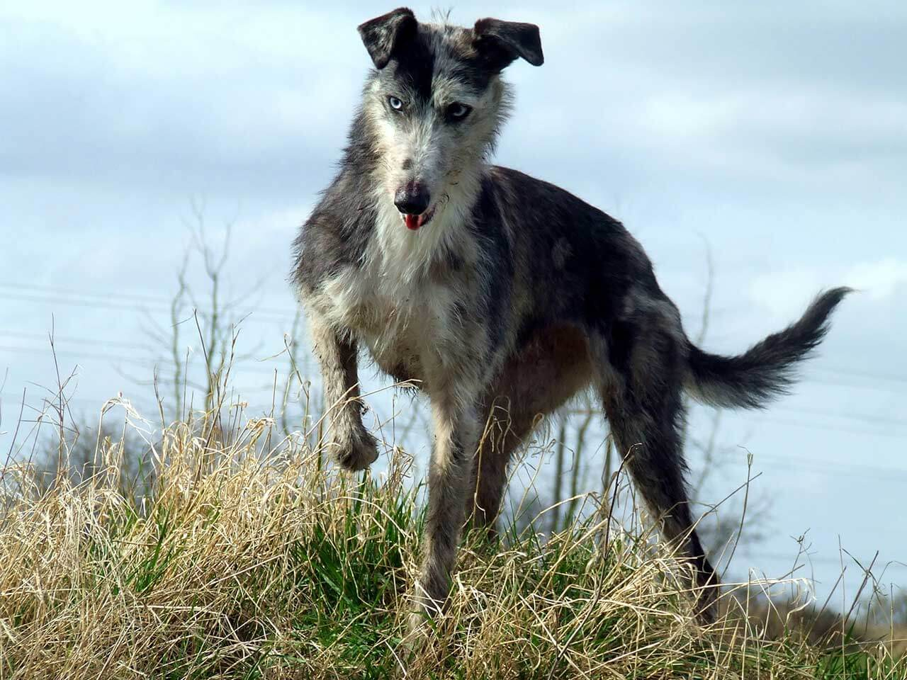 lurcher dog breed 187 everything about lurchers