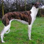 Brindle Magyar Agar (Hungarian Greyhound)