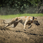 Magyar Agar (Hungarian Greyhound) Running
