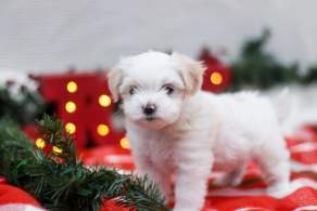 White Maltese Shih-Tzu (Mal-Shi) Puppy