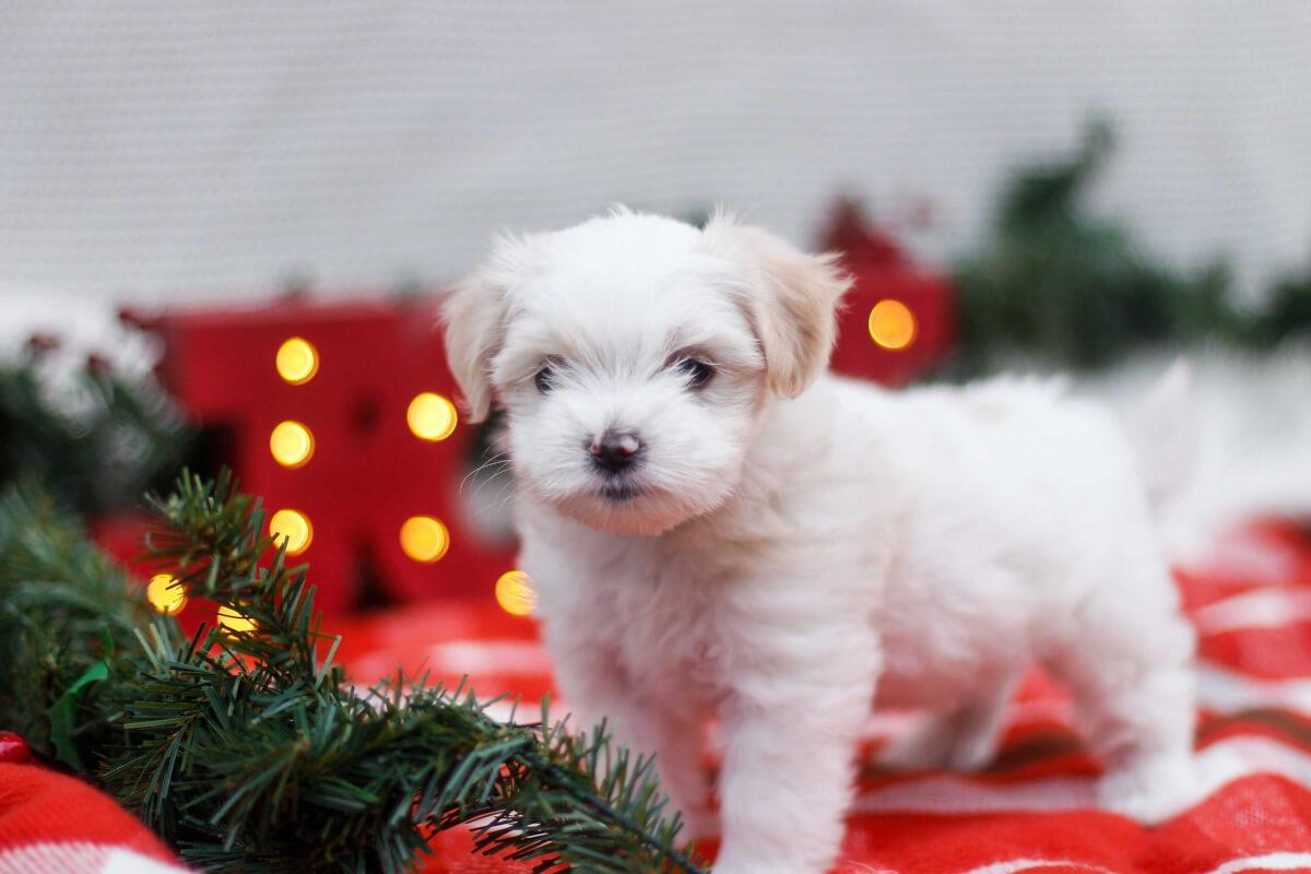 Maltese Shih Tzu Dog Breed Everything About The Malshi