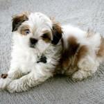 Maltese Shih Tzu Puppy Playing