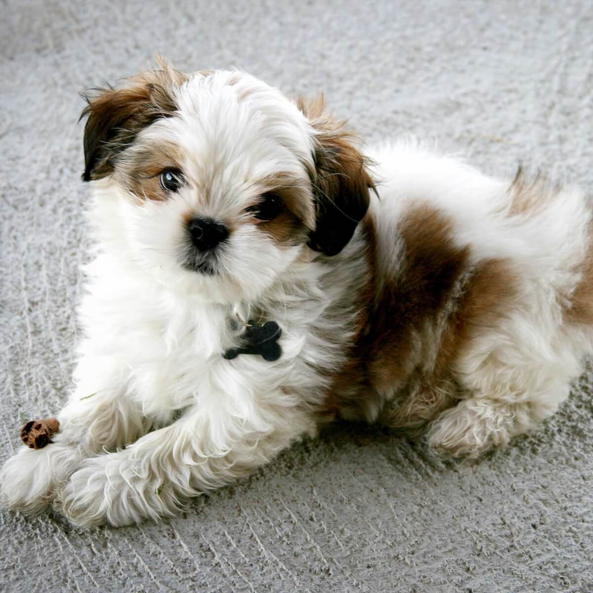 Maltese Shih Tzu Dog Breed Everything About The Malshi