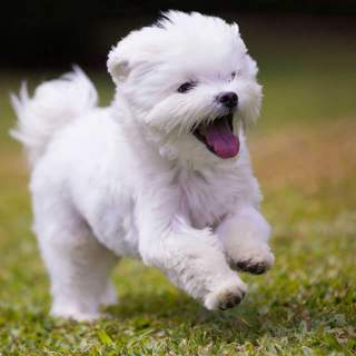 Happy Maltese Running in the Grass