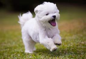 Happy Maltese Running in the Grass