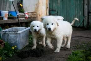 Maremma Sheepdog Puppies