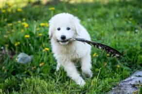 Maremma Sheepdog Puppy