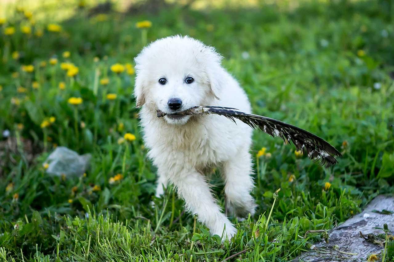 Maremma Sheepdog Dog Breed » Everything About Maremma ...