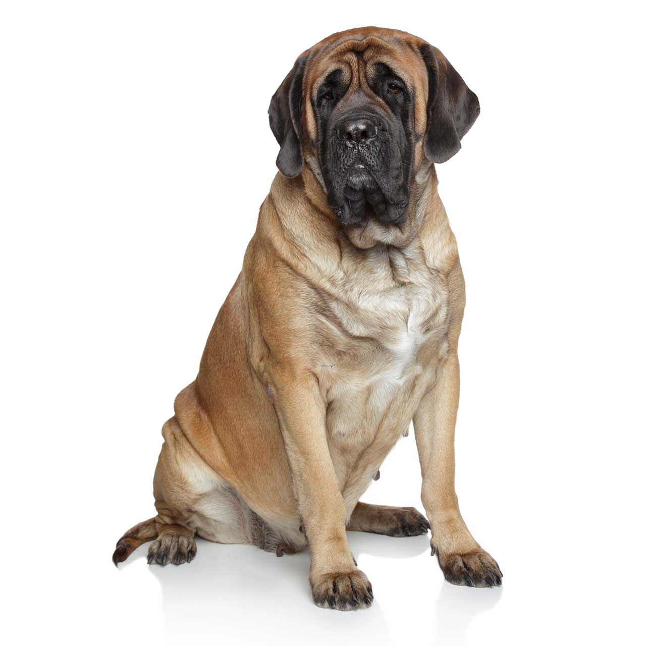 Mastiff Dog Breed » Information, Pictures, & More
