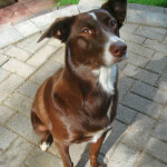 Red & White McNab Dog
