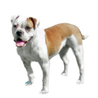 Miniature Australian Bulldog Dog Breed