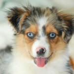 Blue Merle Miniature Australian Shepherd