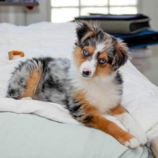 Miniature Australian Shepherd Dog Breed