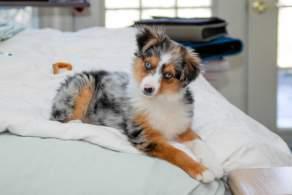 Blue Merle Miniature Australian Shepherd Puppy